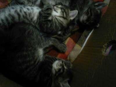 Отдам даром отдам котят в добрые руки в Перми Фото 3