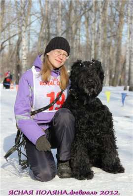 Русский черный терьер, перспективные щенки