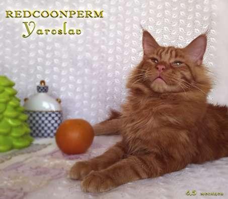 Кот мейн кун - Ярослав - красный солид