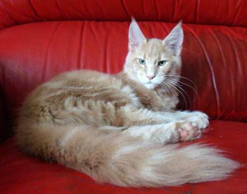Котята мейн кун в продаже мэйн кун в Томилино Фото 1