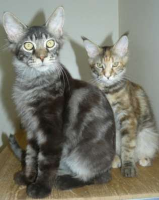 Котята мейн куны из питомника ждут вас