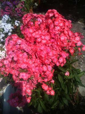 Цветы однолетние и многолетние