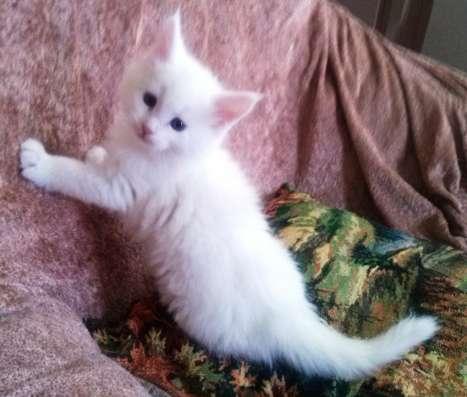 Белоснежный Котёнок мейн-куна