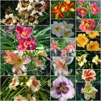 Продаю многолетние растения в Саратове Фото 5