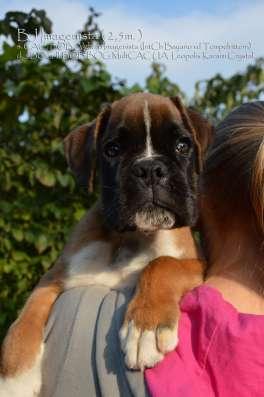 Боксер щенок в г. Киев Фото 5