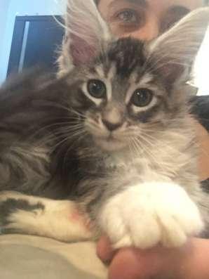 Котята Мейн Кун в г. Самара Фото 4