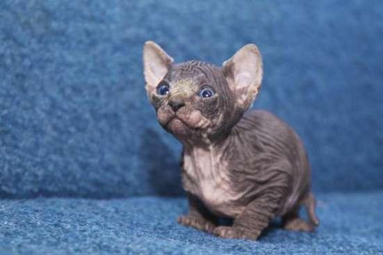 Котята канадского сфинкса из питомника ANIMALS of Prophecy в г. Королёв Фото 1
