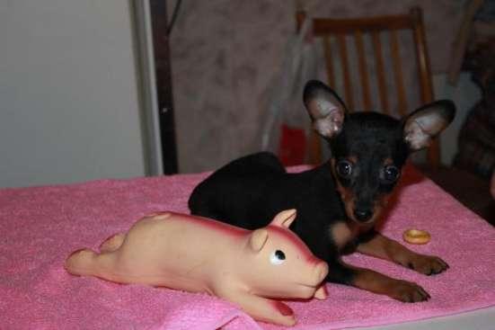 щенок пражского крысарика