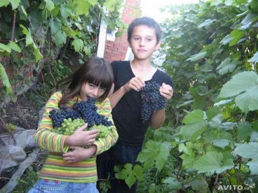 Продаются саженцы винограда в Омске Фото 4