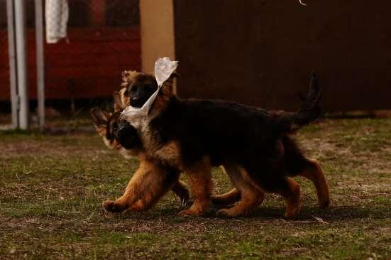 Немецкой овчарки длинношерстные щенки