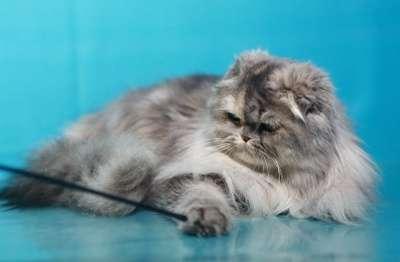 Кошечка - хайленд фолд в Хабаровске Фото 4