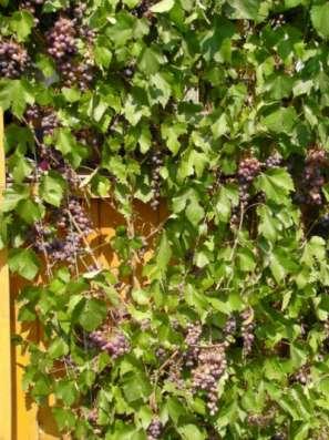 Саженцы винограда Загадка Шарова в Москве Фото 2