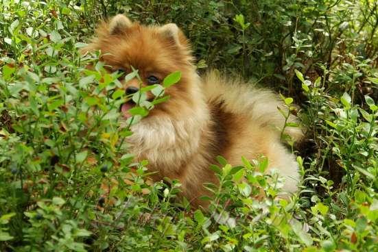 Породные щенки померанского шпица от питомника Лаки Шарм в Москве Фото 1