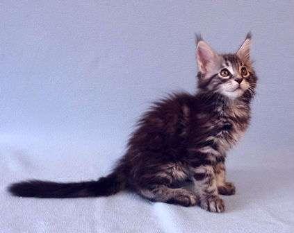 Котик Мейн-Кун в Перми Фото 2