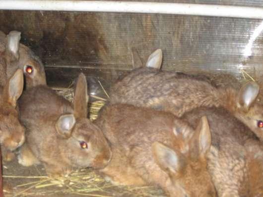 Породистые кролики на завод в Волгограде Фото 3