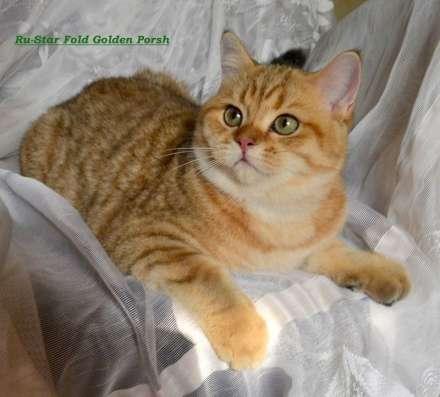 Золотой шотландский котик