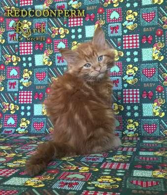 Кот мейн кун - Рюрик - уникального красного окраса