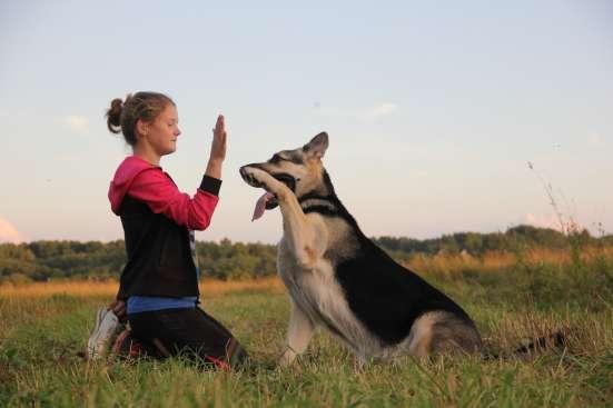 Щенков, собак породы восточноевропейская овчарка в Москве Фото 1