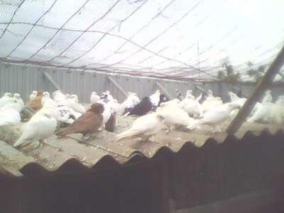 Продам голубей разных пород в г. Крымск Фото 5