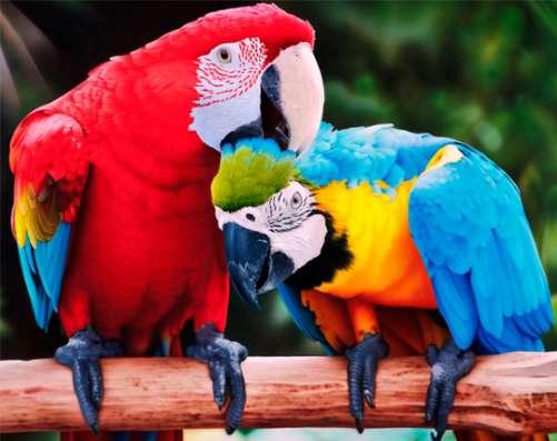 Приму в дар попугая жако или ару