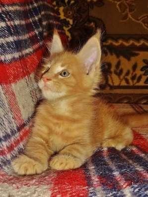 Котята мейн куна - красный мрамор