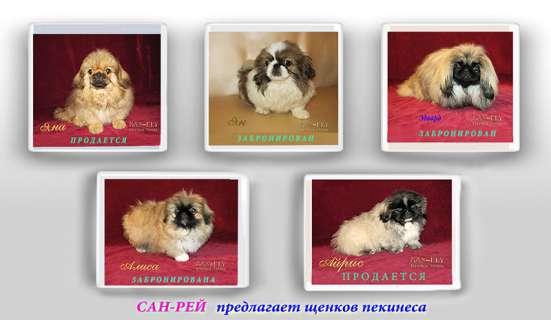 Щенки пекинеса разных окрасов в Москве Фото 4