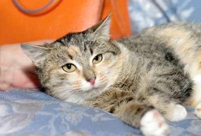Отдам даром Трехцветный котенок Дусенька в Москве Фото 2