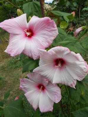 Продаю многолетние растения в Саратове Фото 2