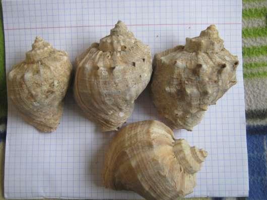 Ракушки рапаны большие в г. Николаев Фото 2