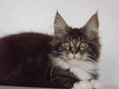 Котята мейн-кун в г. Псков Фото 1