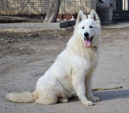 Белая Швейцарская Овчарка, щенки