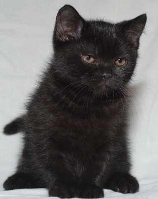 Черные британские котята - кошка в Москве Фото 2