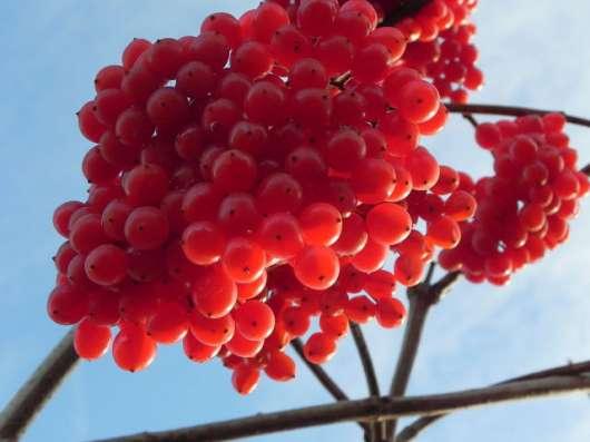Калина и рябина, сортовая, сладко-плодная. Саженцы