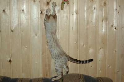 Бенгальский котёнок снежный барс